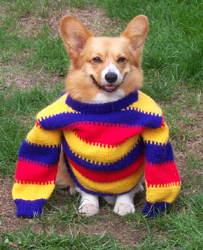 corgi-in-sweater
